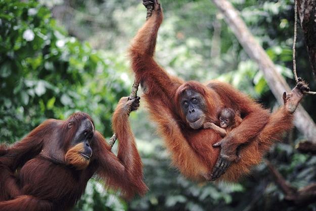 Di sản rừng mưa nhiệt đới đảo Sumatra, Indonesia: